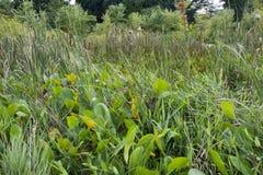 Thic aquatische vegetatie in moerasland stock foto's