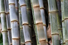 Thick bamboo grove Royalty Free Stock Photos