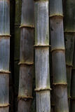 Thick bamboo grove Royalty Free Stock Photography