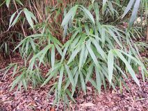 Thick bamboo thickets, Bambusa. Stems and shoots with leaves royalty free stock image
