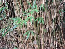 Thick bamboo thickets, Bambusa. Stems and shoots with leaves stock photo