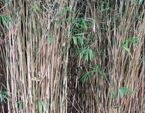 Thick bamboo thickets, Bambusa. Stems and shoots with leaves royalty free stock photography