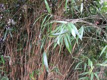 Thick bamboo thickets, Bambusa. Stems and shoots with leaves stock photography