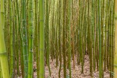Thick bamboo thickets close up. Thick green bamboo thickets close up stock photography