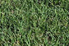 Thick Bermuda Grass Growing in a Lawn Stock Images