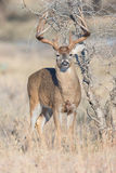 Thick big beamed whitetail buck standing at alert Stock Photography