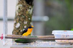 Thick-billed euphonia bird Stock Images
