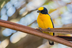 Thick-billed Euphonia Royalty Free Stock Image