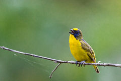 Thick-billed Euphonia on branch Stock Photos