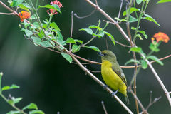Thick-billed Euphonia Royalty Free Stock Photography