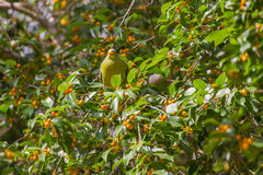 Thick-billed Green Pigeon Treron curvirostra in nature Royalty Free Stock Photography