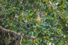 Thick-billed Green Pigeon Treron curvirostra in nature Stock Image