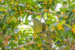 Thick-billed Green Pigeon Treron curvirostra in nature Stock Photography