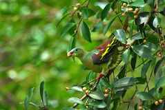 Thick- billed pigion Royalty Free Stock Image