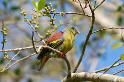 Thick- billed pigion Royalty Free Stock Images