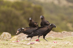 Thick-billed Raven (Corvus crassirostris). Feeding on meat Royalty Free Stock Photo