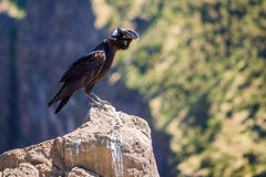 Thick-billed raven on a rock Stock Images