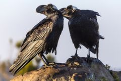 Thick-billed Raven, Simien Mountains Stock Images