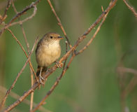 Thick-billed reed warbler on shrub limb at edge of wetland in Fa Royalty Free Stock Image