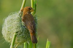 Thick-billed weaver (Amblyospiza albifrons) Stock Image