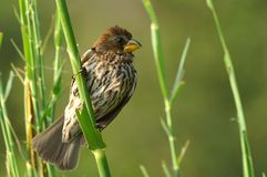 Thick-billed weaver (Amblyospiza albifrons) Royalty Free Stock Photo
