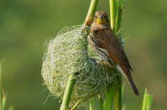Thick-billed weaver (Amblyospiza albifrons) Royalty Free Stock Photos