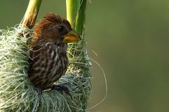 Thick-billed weaver (Amblyospiza albifrons) Royalty Free Stock Images
