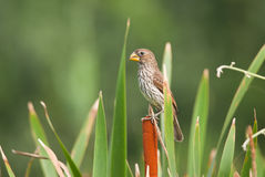 Thick-billed Weaver Stock Photography