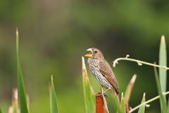 Thick-billed Weaver Stock Photos