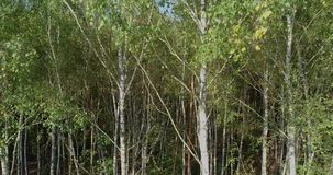 Birch forest, birch forest top view. Thick birch forest, birch forest top view stock video footage