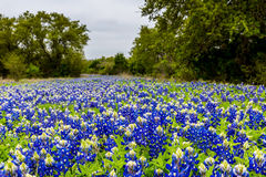 A Thick Blanket of the Famous Texas Bluebonnet Wildflowers. Royalty Free Stock Photo
