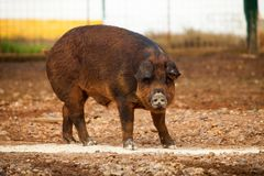 Thick  boar Royalty Free Stock Photos
