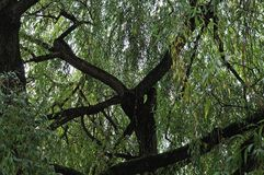 Thick branches of an old weeping willow tree. Inside view of foliage and branches of salix babylonica, the weeping willow stock photos