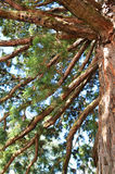 Thick branches of a pine, seeking up in the sky. A tree trunk Royalty Free Stock Image