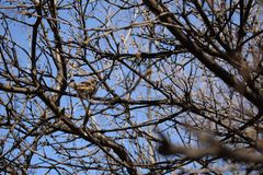 Thick branches of a tree on which a sparrow sits. Thick branches of a tree against the blue sky on which a sparrow sits stock photos