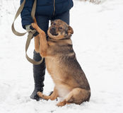 Thick brown mongrel dog sitting near man legs on snow Stock Images