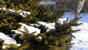 spruce with a bunch of snow on a branch Royalty Free Stock Photos