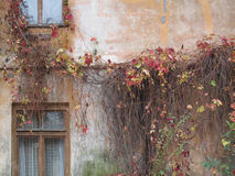 Thick Climbing Vines on an Old Town Building Wall. Stock Photography