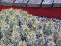 Barrel cactus in the sunshine stock images
