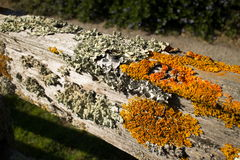Thick Colorful Lichens on Old Wooden Fence, with horizontal upper rail. Thick colorful lichens on a wooden fence, featuring a horizontal upper rail. The lichens Royalty Free Stock Images