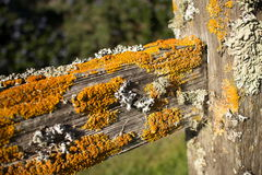 Thick Colorful Lichens on Old Wooden Fence Post, with Horizontal Upper Rail Leading Diagonally from Vertical Post. Thick colorful lichens on a wooden fencepost Stock Image