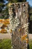 Thick Colorful Lichens on Old Wooden Fence Post, with Upper rail leading off to side. Thick colorful lichens on a wooden fencepost, with horizontal rail seen Stock Photography