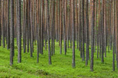 Thick coniferous forest Royalty Free Stock Images