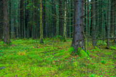 Thick dark fir forest covered Royalty Free Stock Image