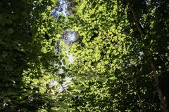 Light green leaves in the forest. A thick, dark forest, uplifting the sun, has illuminated the leaves of the tree. Light green leaves in the forest. Forest, park Stock Photography