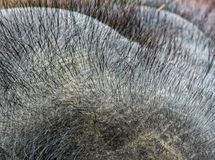 Hairs on the Elephant head. Thick dense, hairs found on the elephant head stock image