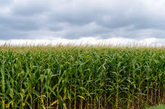 Thick endlessly green field of high corn. Gray storm clouds before the rain.  Royalty Free Stock Images