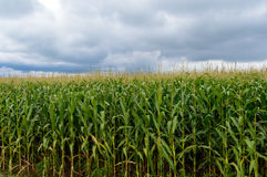 Thick endlessly green field of high corn. Gray storm clouds before the rain.  Stock Photo