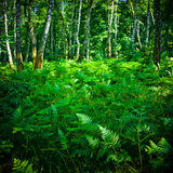 Thick fern. A thick fern in a birch forest in the summertime royalty free stock images