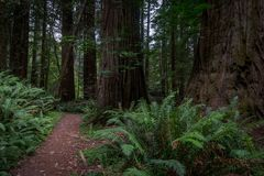 Thick Ferns and Tree Trunks in Redwood Forest Royalty Free Stock Photos